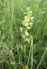 Grünliche Waldhyazinthe (Plantanthera chlorantha)