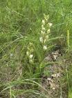 Weißes Waldvögelein (Cephalanthera damasonium)