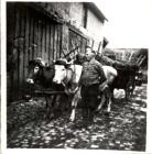 Peter Gebhard mit Kuhgespann