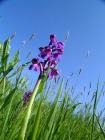 Kleines Knabenkraut (Orchis morio)