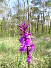 Stattliches Knabenkraut (Orchis masculus)