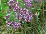 Gewöhnlicher Dost (Origanum vulgare)